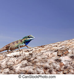 Chameleon on the trunk timber and blue sky background. -...