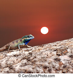 Chameleon on the trunk timber and sunset background. -...
