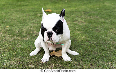 French bulldog pooping at grass field