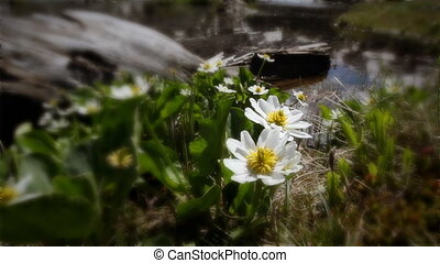 (1204) Mountain Stream Wildflowers - Classic High Mountain...