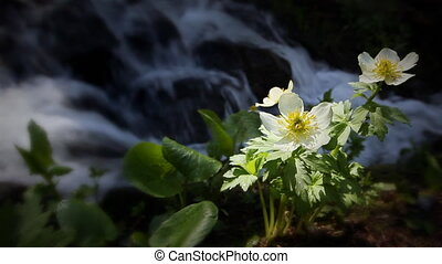 (1202) Mountain Stream Wildflowers - Classic High Mountain...