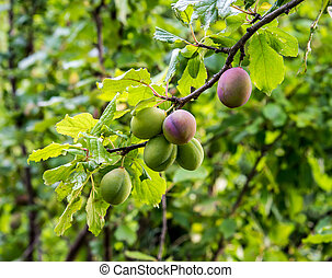 Unripe plums hanging on a tree branch