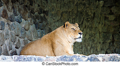 lioness on stony prominence - amicable pacific lioness on...