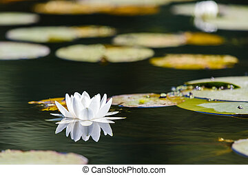 White water lily in the Romanian Danube Delta