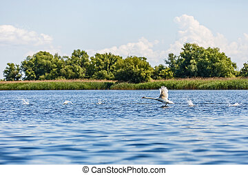 Flying swan in Danube Delta - Beautiful landscape photo of...