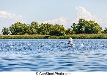 Flying swan in Danube Delta - Beautiful landscape photo of...