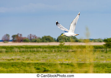 Flying seagull in Danube Delta - Photo of flying seagull in...