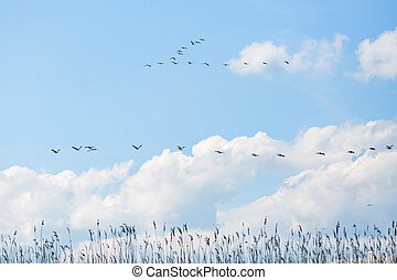 Flying white pelicans - Landscape photo of flying white...