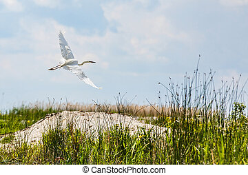 Flying little egret in Danube Delta - Photo of flying little...