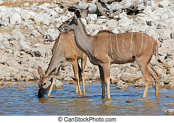 Kudu antelopes drinking water - Kudu antelopes Tragelaphus...