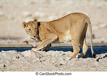 Lioness drinking water - Lioness (Panthera leo) drinking...