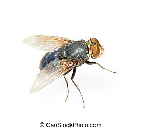 Common fly - hotbed of infection, isolated - Common fly - a...
