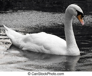While I Gently Weep - A beautiful swan glides across the...