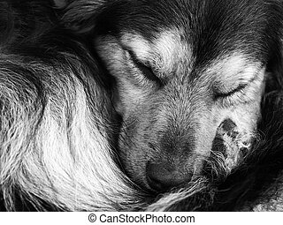 Curled Up - A cute black and tan crossbreed having an...