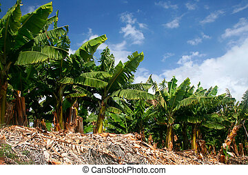 Banana trees - Row of green banana trees on banana...