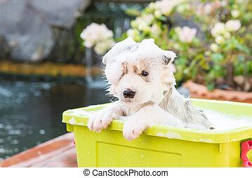 Puppy bathing - Cute puppy siberian husky bathing in green...