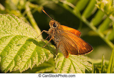 Skipper butterfly in wood - Beautiful orange skipper in...