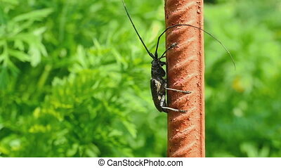 Great capricorn beetle -Cerambyx cerdo- - Great capricorn...