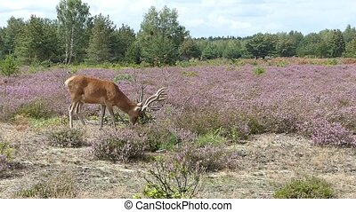 Stag grazing in moorland - A red deer stag grazing in a...
