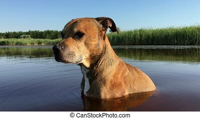 American Pit bull sits in the lake, watching for prey, clear...