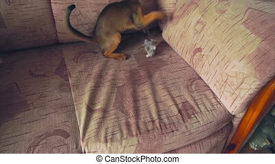 Abyssinian kitten playing with a plush mouse, slow motion