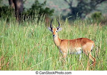 Ugandan Kob (Kobus kob thomasi) in High Grass. Ishasha,...