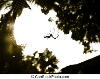 Green and Gold Bum Spider. Nephila species. Kokan,...