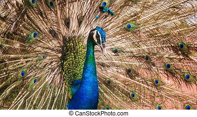 Colorful Peacock Shows Large Tail in Park - closeup...