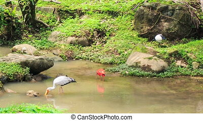 Scarlet Ibis and Siberian Crane Walk along Green Stony Bank...