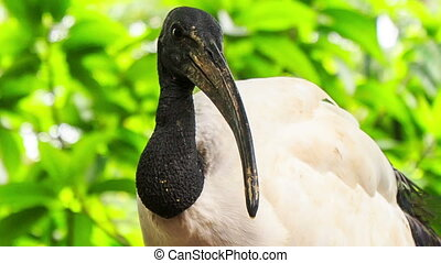 Closeup Wood Stork Large Bird against Green Plant - closeup...