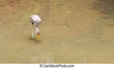 Sandhill Crane Searches Food in Pond Shallow Water