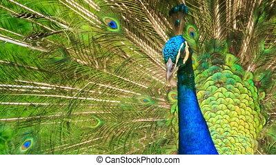 Closeup Peacock Shows Large Colourful Tail - closeup nice...