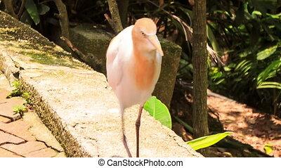 White Cattle Egret Orange Head Walks on Stone Border in Park...