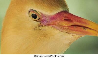 Closeup Small Orange Cattle Egret Turn Head in Park -...