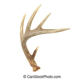 Angled Whitetail Deer Antler - An angled view of a whitetail...