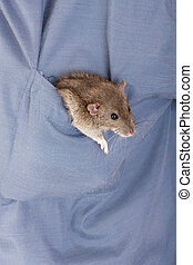 brown domestic rat sitting in the pocket