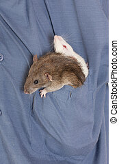 two domestic rat sitting in the pocket