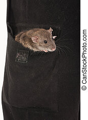 rat sitting in the pocket - brown domestic rat sitting in...