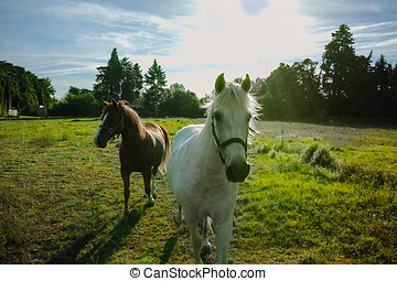 Two horses running in the paddock at sunset