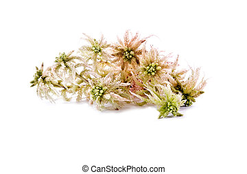 Sphagnum moss - Sprigs of sphagnum moss isolated on white...