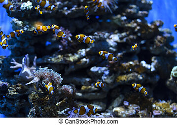 Nemo fish - Clownfish or anemonefish known as Nemo in...