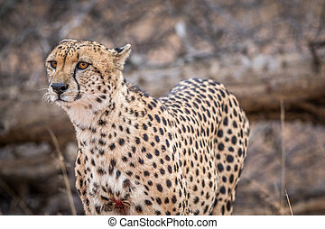 Starring Cheetah in the Kruger. - Cheetah starring in the...