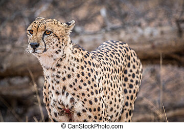 Starring Cheetah in the Kruger - Cheetah starring in the...