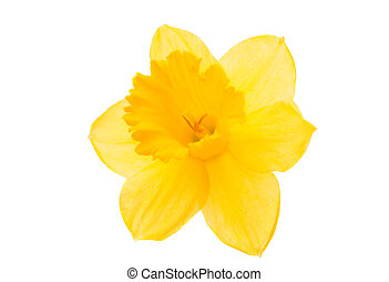 daffodil yellow flower