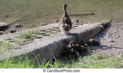 duck with her ducklings at lake