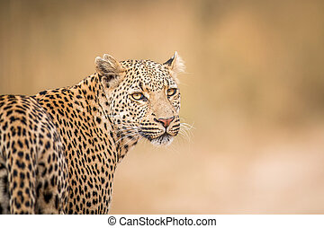 A Leopard looking back in the Kruger. - A Leopard looking...