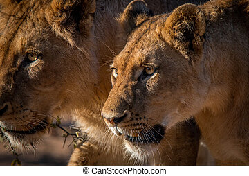 Two Lions walking in the Kruger. - Two Lions walking in the...
