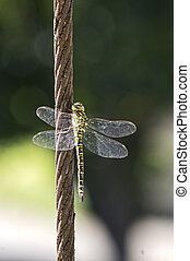 Female green hawker - Green hawker on a cable