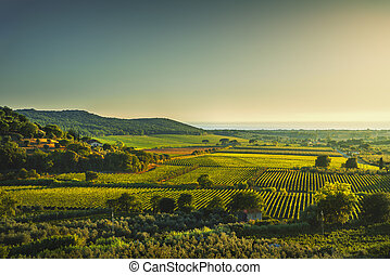 Bolgheri and Castagneto vineyard aerial view on sunset....
