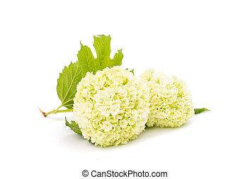 hydrangea flower on a white background